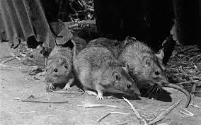 Rats Don't Bite, So Sleep Well?
